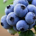 10-semillas-de-blueberry-arandano-azul-cultivo-jardin-D_NQ_NP_627472-MLM28092410584_092018-F