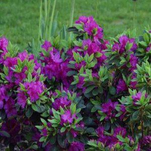 Azalky a Rododendrony